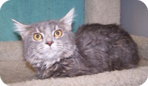 Domestic Mediumhair Cat for Sale in Colorado Springs, Colorado - K-Angie1-Faith