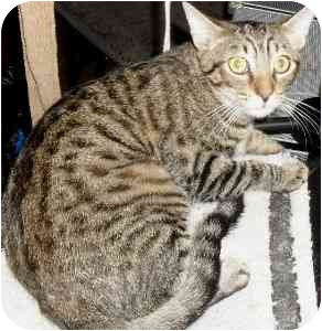 Domestic Shorthair Cat for adoption in Jacksonville, Florida - Gatsby