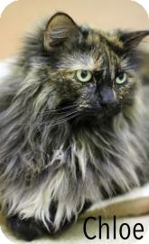 Domestic Longhair Cat for adoption in Baton Rouge, Louisiana - Chloe