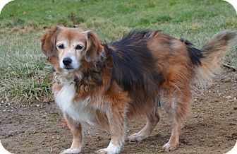 Sheltie, Shetland Sheepdog Mix Dog for adption in New cumberland, West Virginia - Mary Anne