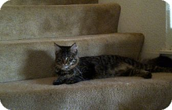 Maine Coon Cat for Sale in San Ramon, California - Ashlyn