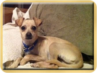 Whippet/Chihuahua Mix Puppy for Sale in Scottsdale, Arizona - Tucker