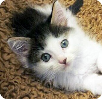 Domestic Mediumhair Kitten for Sale in Irvine, California - Luke