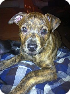 Pit Bull Terrier/Boxer Mix Puppy for Sale in Bellflower, California - URGENT! -Tiger Lilly