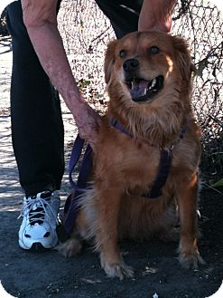 Chow Chow/Retriever (Unknown Type) Mix Dog for Sale in Yuba City, California - Shyla