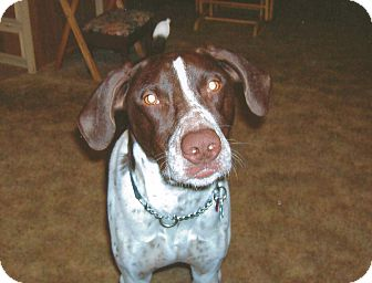 German Shorthaired Pointer Dog for Sale in Bellflower, California - Buck