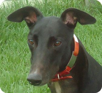 Greyhound Dog for adption in Longwood, Florida - Killer Link