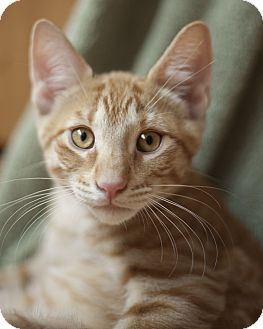 Domestic Shorthair Kitten for adoption in Chicago, Illinois - Georgie