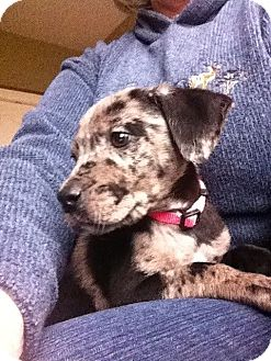 Labrador Retriever/Australian Cattle Dog Mix Puppy for Sale in Marlton, New Jersey - Charlotte