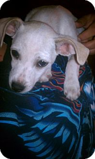 Chihuahua/Jack Russell Terrier Mix Puppy for Sale in scottsdale, Arizona - Romeo