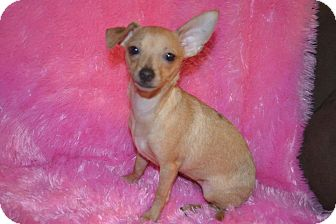 Chihuahua Puppy for adption in Cranford, New Jersey - Glory