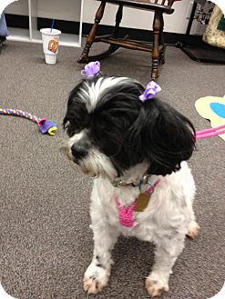 Shih Tzu Mix Dog for adption in Sheridan, Oregon - Joanne