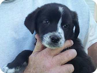 Border Collie/Australian Cattle Dog Mix Puppy for Sale in Germantown, Maryland - Bosley