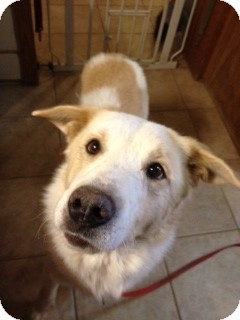 Shepherd (Unknown Type)/Collie Mix Dog for adption in Phoenix, Arizona - Lou