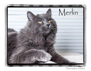 Domestic Longhair Cat for Sale in Warren, Pennsylvania - Merlin