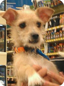 Terrier (Unknown Type, Small) Mix Dog for Sale in Phoenix, Arizona - Tiffany Rex