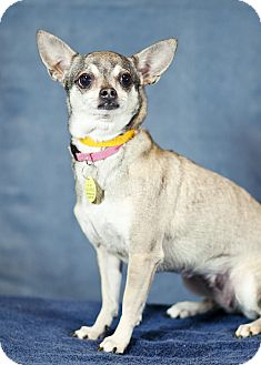 Chihuahua Mix Dog for Sale in Westminster, Colorado - Lilly