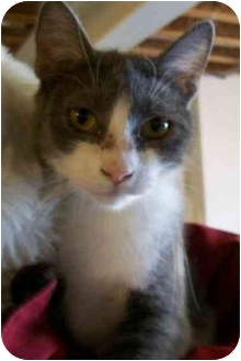 Domestic Shorthair Cat for adoption in MARENGO, Illinois - Morgan