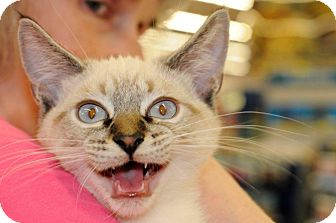 Siamese Kitten for Sale in Harrisburg, North Carolina - Gnocchi