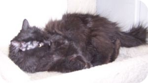 Domestic Longhair Cat for adoption in Colorado Springs, Colorado - Cathy