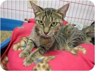 Domestic Shorthair Cat for adoption in Pittsboro, North Carolina - Boudacia