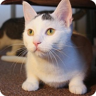 Turkish Van Cat for Sale in Mississauga, Ontario, Ontario - Janis Joplin
