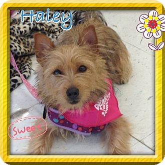 Cairn Terrier/Silky Terrier Mix Dog for Sale in Brea, California - Haley