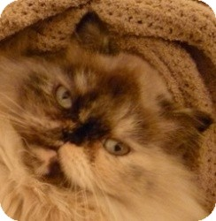 Himalayan Cat for Sale in Beverly Hills, California - Pixie