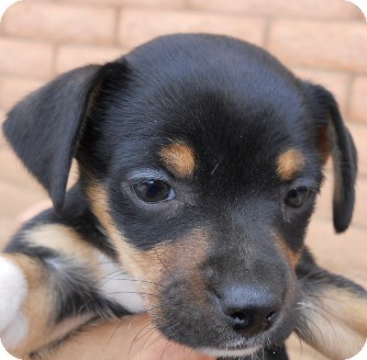 Jack Russell Terrier/Yorkie, Yorkshire Terrier Mix Puppy for Sale in dewey, Arizona - Rosie