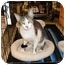 Photo 2 - Domestic Shorthair Cat for adoption in Jacksonville, Florida - Taylor