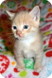 Domestic Shorthair Kitten for Sale in Oceanside, New York - Angel & Kiwi