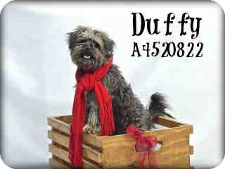 Brussels Griffon/Norfolk Terrier Mix Puppy for Sale in Portland, Oregon - Duffy