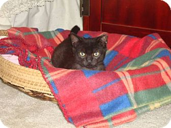 Domestic Shorthair Kitten for adoption in Barnegat, New Jersey - Midnight
