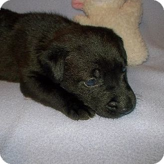 Labrador Retriever Mix Puppy for Sale in Shirley, New York - ACE