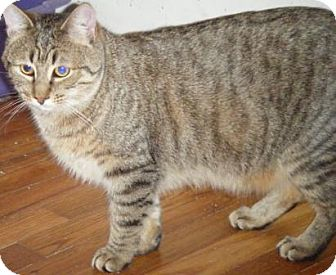 Domestic Shorthair Cat for Sale in Kensington, Maryland - Leander
