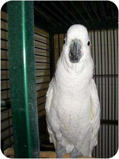 Cockatoo for adoption in Mantua, Ohio - TROY