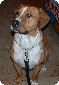 Boxer/Hound (Unknown Type) Mix Dog for adption in Emsdale (Huntsville), Ontario - Milo - Foster Home Needed!