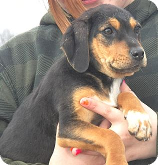 Beagle/Rottweiler Mix Puppy for Sale in Sussex, New Jersey - Rambo