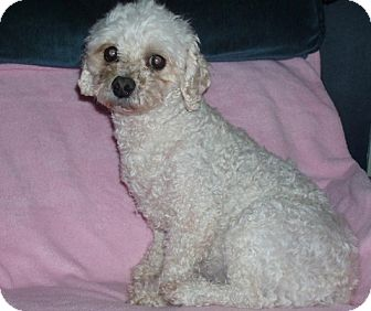 Bichon Frise/Poodle (Miniature) Mix Dog for adption in Homer, New York ...