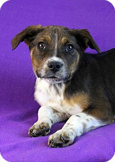 Shepherd (Unknown Type)/Australian Cattle Dog Mix Puppy for Sale in Westminster, Colorado - Natasha