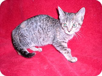 Domestic Shorthair Kitten for Sale in New Castle, Pennsylvania -