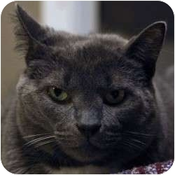 Domestic Shorthair Cat for adoption in St. Clements, Ontario - Bindi