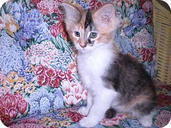 Calico Kitten for Sale in New Castle, Pennsylvania -