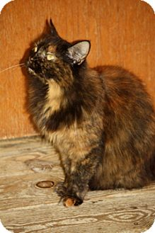 Domestic Mediumhair Cat for Sale in Dover, Ohio - Miss Missy
