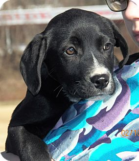 Border Collie/Labrador Retriever Mix Puppy for Sale in Sussex, New Jersey - Jeannie