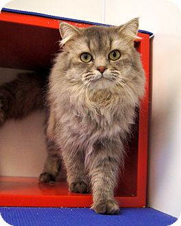 Norwegian Forest Cat Cat for Sale in Colorado Springs, Colorado - Frodo
