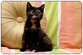 Domestic Shorthair Kitten for Sale in Sterling Heights, Michigan - Polly - ADOPTED!