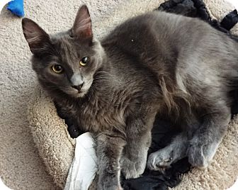 Russian Blue Kitten for Sale in Simi Valley, California - Dodge