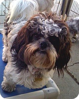 Havanese Mix Dog for Sale in Los Angeles, California - MICAH