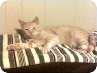 Domestic Shorthair Cat for adoption in Summerville, South Carolina - Sparta